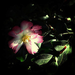 A delicate pink and white camelia flower shot in dappled sunlight.