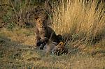 Lion cubs (Panthera leo) in Serengeti National Park - Tanzania
