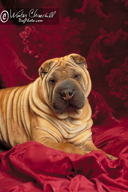 Chinese Shar-Pei in the studio <br /> <br /> Shopping cart has 3 Tabs:<br /> <br /> 1) Rights-Managed downloads for Commercial Use<br /> <br /> 2) Print sizes from wallet to 20x30<br /> <br /> 3) Merchandise items like T-shirts and refrigerator magnets