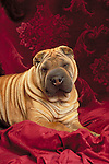 Chinese Shar-Pei in the studio <br />