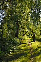 Avenue of weeping willow trees above a path alongside river bank, Boroghbridge, North Yorkshire. england.