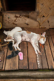 PHILIPPINES, Palawan, Puerto Princesa, dogs sleeping at Liberty Fishing Village