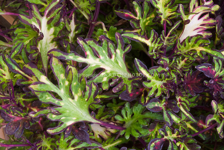 Solenostemon (Coleus) 'Inky Fingers', annual foliage plant with interesting and odd leaf form in green and purple red