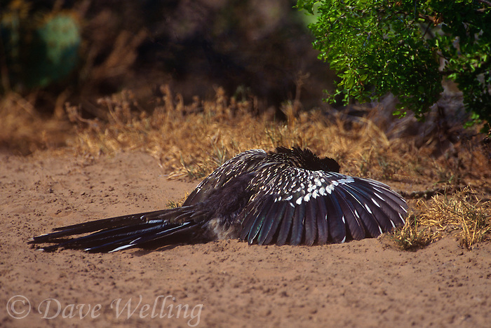 576017009 a wild greater roadrunner lays prone almost like it is in a praying position on a private ranch in the rio grande valley of south texas