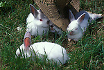 Young New Zealand rabbits