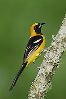 Hooded Oriole, Icterus cucullatus, male, Willacy County, Rio Grande Valley, Texas, USA, June 2006