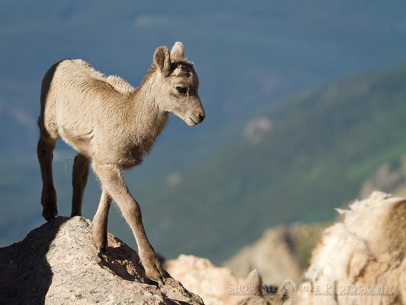 Bighorn Sheep baby on mountain top
