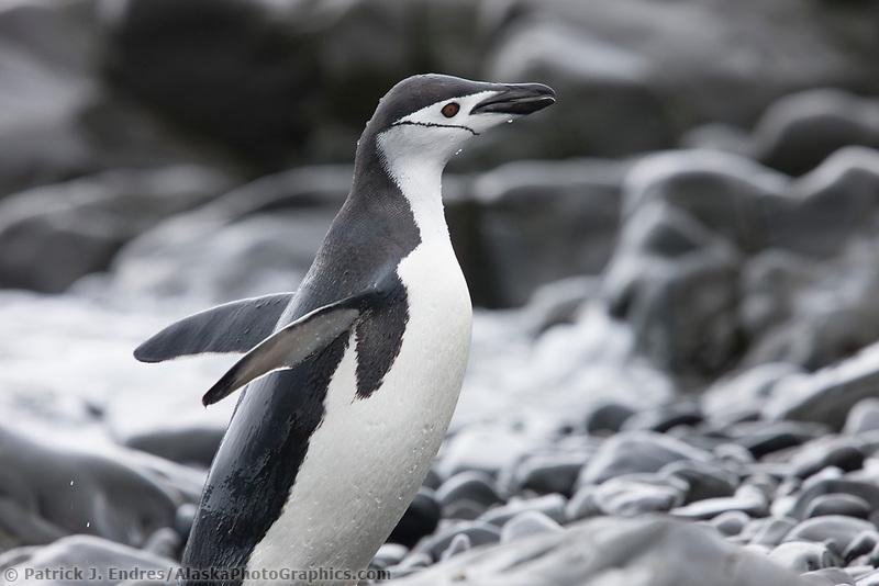 Chinstrap penguins, Hannah Point, Livingston Island, Antarctica.