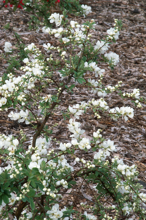 Exochorda The Bride In Early Spring Bloom Plant Flower Stock