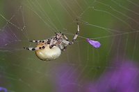 Vierfleck-Kreuzspinne, Vierfleckkreuzspinne, Weibchen, Kreuzspinne, Araneus quadratus, fourspotted orbweaver, female, Araneidae, Radnetzspinnen, Kreuzspinnen, orbweavers, orb-weaving spiders