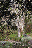 California sycamore tree (Platanus racemosa) framed by canopy of live oak tree in California native plant garden