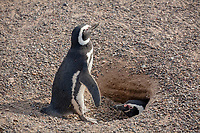 Magellanic Penguin (Spheniscus magellanicus), pair at burrowing nest, Punta Tombo, Argentina, South America