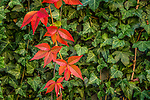 Virginia Creeper in autumn at Kittery Point in Kittery, Maine, USA