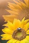 Sunflower with insects