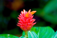 Ginger flower (Costus productus) at Waimea Falls Park