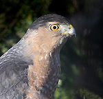 Cooper's hawk closeup portrait, staring intently