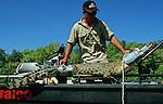 Les crocodiles a la recherche d'un territoire et s'approchant trop près des plages ou des villes sont capturés par une équipe de Rangers qui patrouillent tous les jours. Ils sont ensuite amenés dans des fermes d'élevage...Australie. Territoires du Nord; Darwin