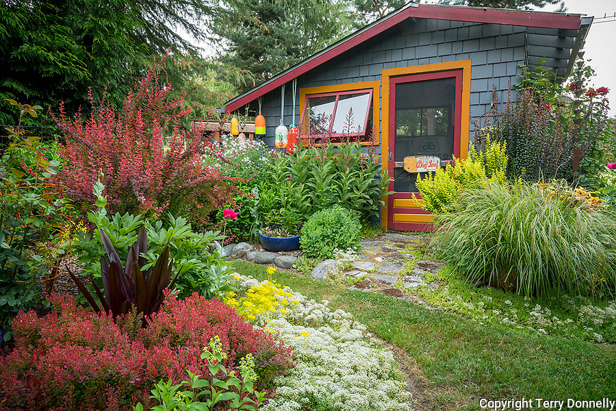 Vashon-Maury Island, WA: Summer perennial garden with colorful shed. Featuring sedum, barberries, grasses, peonies and lobelia