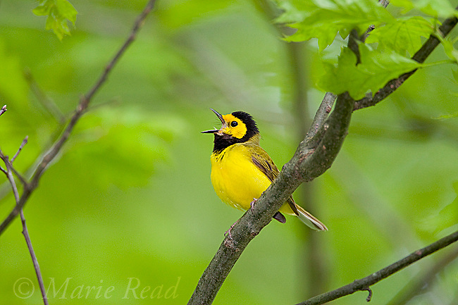 Hooded Warbler (Wilsonia citrina), male singing in spring, New York, USA