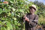 Older man picking beans on his allotment. MR