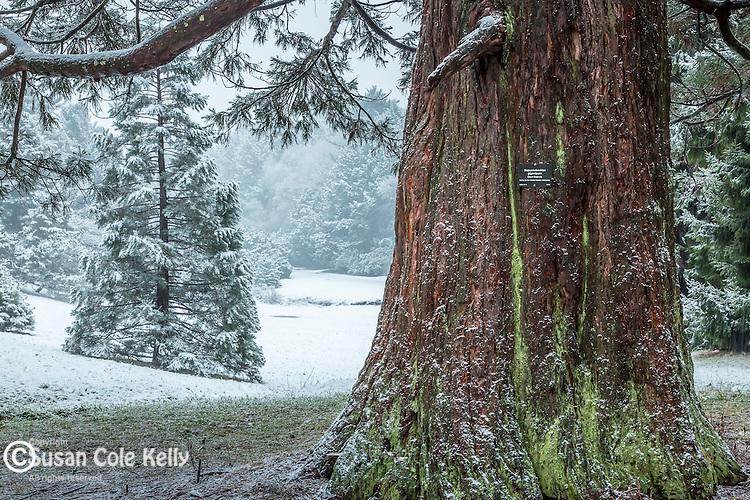 Giant Sequoia (Sequoiadendron giganteum) at the Arnold Arboretum in the Jamaica Plain neighborhood, Boston, Massachusetts, USA