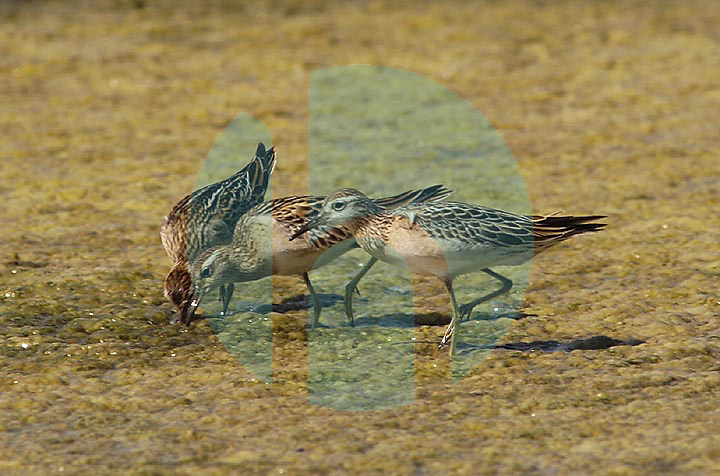 October 25th 2003-Lake Maubara,East Timor-A group of Sharp-tailed Sandpiper feed at Lake Maubara near Maubara town West of the Timorese capital of Dili.   These birds are migrants who breed in Siberia and winter in South East Asia and Australia.  Photo by Daniel J. Groshong/Tayo Photo Group