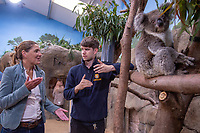 BNPS.co.uk (01202 558833)<br /> Longleat/BNPS<br /> <br /> Dr Rachael Tarlintin talks with Longleat Koala Keeper James Dennis<br /> <br /> Groundbreaking research carried out by British scientists may help to secure the long term survival of the 'threatened' koala in the wild.<br /> <br /> They have identified a genetic mutation in the marsupials which causes a kidney disease that affects almost 60 per cent of koalas in captivity and the wild.<br /> <br /> The discovery was made by University of Nottingham researchers while carrying out tests on tragic Wilpena, a southern koala who died at Longleat Safari Park in Wilts last year.<br /> <br /> She had been bought over from Adelaide in Australia with four other koalas last October as part of a conservation programme, but succumbed to oxalate nephrosis in January.<br /> <br /> It is hoped the breakthrough will help them to develop cross-breeding programmes to eradicate the genetic mutation.