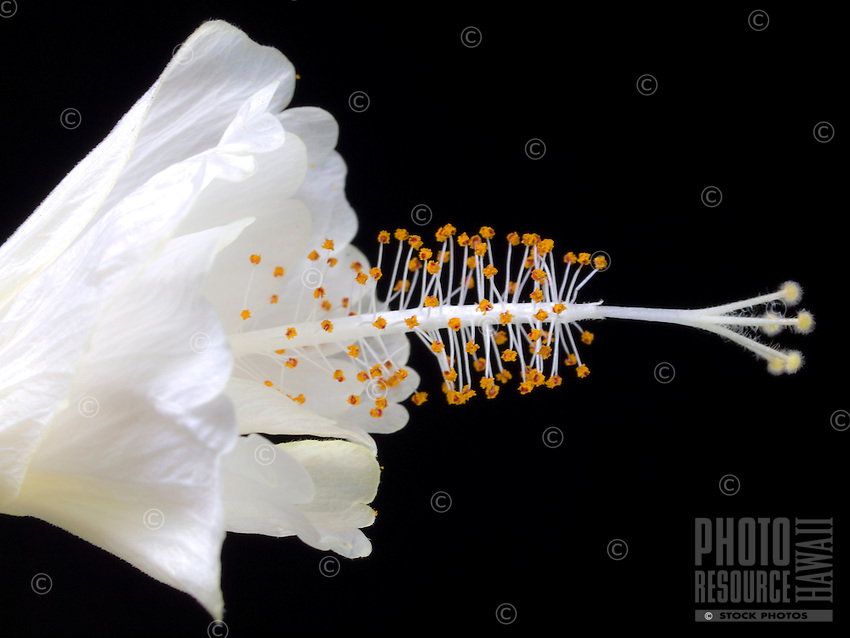 A close-up of a white Hibiscus with orange pollen against a black background, Hawai'i.