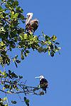 Brown Pelican & Frigatebird