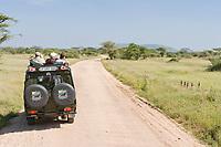 Dwarf Mongoos, Serengeti National Park, Tanzania, East Africa