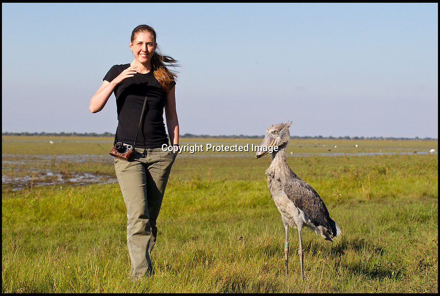 BNPS.co.uk (01202 558833).Pic: MorganTrimble/BNPS..***Please Use Full Byline***..Morgan with the nearly tame Shoebill - as the odd looking bird tries to get used to life in the wild...The comical moments a bizarre-looking shoebill bird tries to familiarise itself with its new surroundings after being released into the wild have been captured on camera...The pre-historic looking creature only lives in a handful of countries in the world and rarely interacts with humans...But this 4ft tall specimen has been hand-reared in captivity by conservationists since it was rescued from poachers as a chick...So when the one-year-old female shoebill was freed she was naturally inquisitive of anything or anyone she came across...University student Morgan Trimble photographed the bird trying to eat her metal camera tripod as well as hunting for food by emptying a fisherman's net of his catch...The shoebill also took in her new-found freedom by standing on top of a 45ft tall tree to survey the vast African swamplands around her..