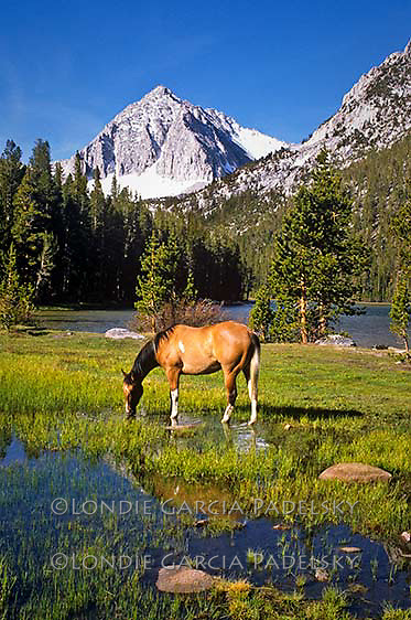 Paint horse grazing at Davis Lake, Inyo National Forest, Sierra Nevada, California