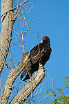 Turkey vulture, Cathartes aura. Near Pena Blanca Lake, Coronado National Forest, Arizona