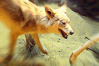 Coyote chases prey, photographed at a Taxidermy display at Cabella's, Kansas City, MO, August 2009, and manipulted in PhotoShop. (Photo by Brian Cleary/www.bcpix.com)