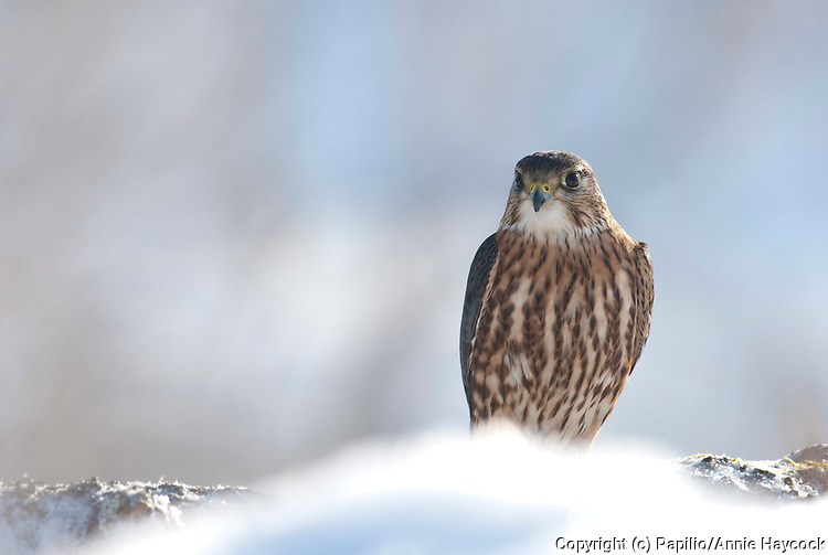 Merlin (Falco columbarius) erched on snowy ground, watching for prey and predators. This  small robust falcon is found in open country throughout the north America, Europe and Asia.