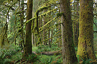 QX1354-D. Ferns and moss covered trees in the Hoh Rainforest, Olympic National Park. Washington, USA.<br /> Photo Copyright &copy; Brandon Cole. All rights reserved worldwide.  www.brandoncole.com