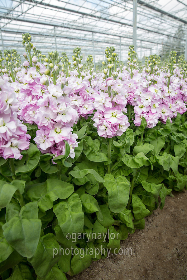 Stocks in flower ready for cropping - Lincolnshire, April