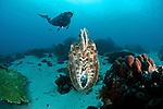 Reef cuttlefish (Sepia latimanus) in the reef.