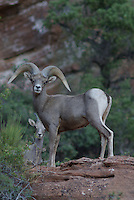 Desert Bighorn Sheep Ram seen in Zion National Park, in southern Utah, on a summer morning.