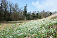 Bank of Snowdrops, Hutton-in-the-Forest, Cumbria.
