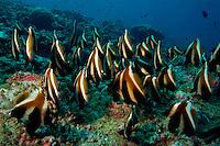 School of Phantom banner (heniochus pleurotaenia), Ari Atoll, Maldives.