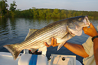 Striped bass, Lake Ouachita, Arkansas