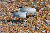 Black headed Gull (Chroicocephalus ridibundus) in courtship. With head drooped low, and the nape of the neck even lower, is a typical courtship posture, and quite comical at times to watch. Swimming on water or land, the Black headed Gull can execute this posture. The pair are almost in sync.