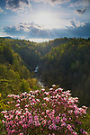 Carolina rhododendron in bloom at Linville Falls, Blue Ridge Parkway, North Carolina