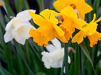 Vashon Island, Washington<br /> Daffodils (Narcissus sp.) close up in a spring garden