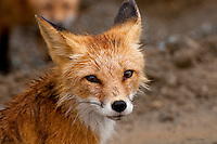 A mother fox poses as her kits linger nearby in Beluga, Alaska.