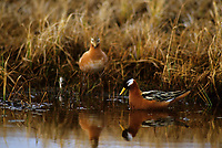 Pair of Red Phalaropes (Phalaropus lobatus). Colville River Delta, Alaska. June.