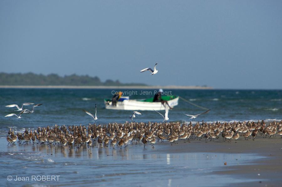 Limosa lapponica, Bar-tailed Godwit, barge rousse.Les barges rousses, nicheuses dans la toundra septentrionale, viennent hiverner dans les bolongs des Bijagos, profitant de la richesse des vasieres.
