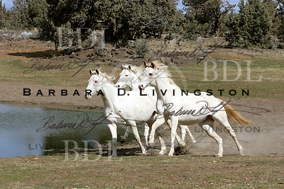 White Thoroughbred mares Articanna, Silverlite JC, and Rubiana Lace scenic, mood, horse racing, pretty, racehorse, horse, equine, racetrack, track, saratoga