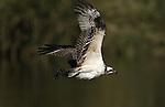 Osprey.Pandion haliaetus.at the Sepulveda Wildlife Area.Los Angeles, Ca. November 10, 2007. Fitzroy Barrett